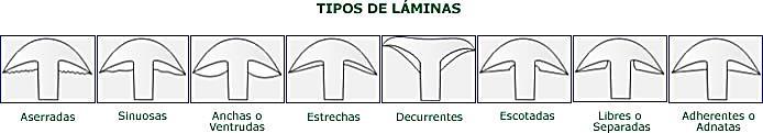 http://www.amivall.com/imagenes/micologia/tipos_laminas.jpg