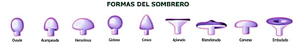 http://www.amivall.com/imagenes/micologia/tipos_sombrero.jpg