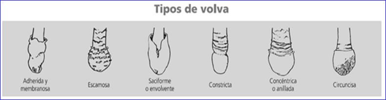 http://www.amivall.com/imagenes/micologia/volva.jpg
