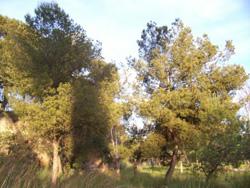 http://www.asmicas.org/imagenes/micologia/habitats/pinos/pino_arbol.jpg